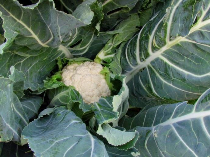 Brokkoly_Brassica oleracea_IMG_0148
