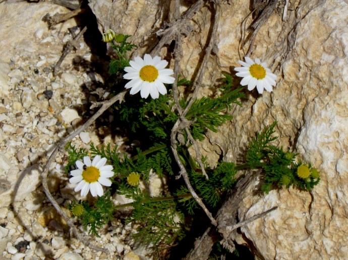 Anthemis pseudocotula_Pupavka_IMG_8629