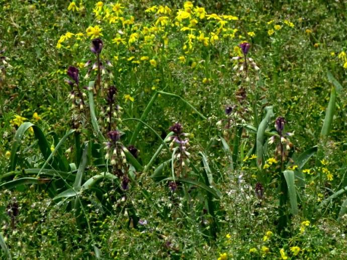 Bellevalia flexuosa IMG_5900