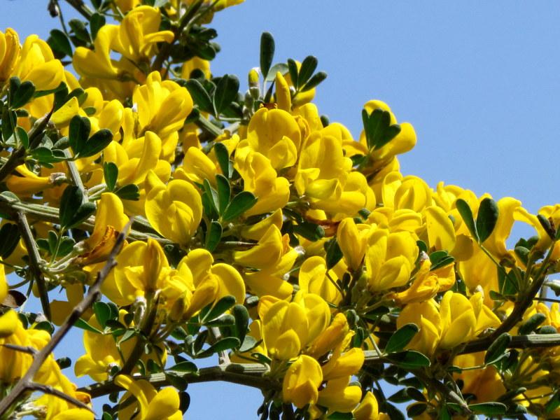 Calicotome villosa IMG_6656