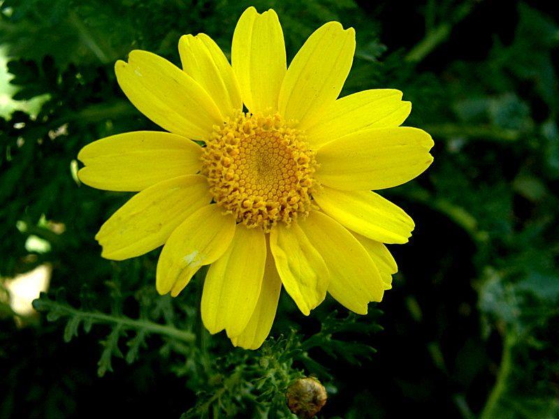 Chrysanthemum coronarium P1200286_a