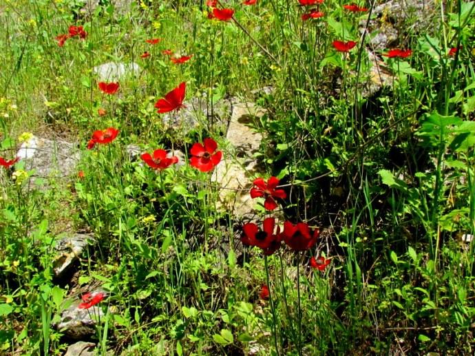 Ranunculus asiaticus IMG_6586