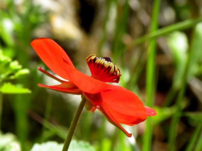 Ranunculus asiaticus IMG_6595