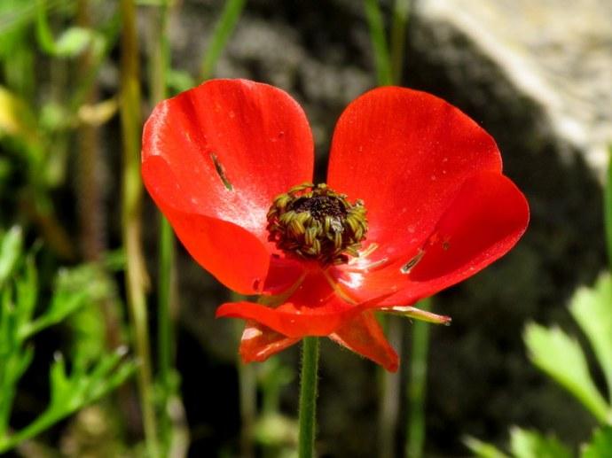 Ranunculus asiaticus IMG_6597