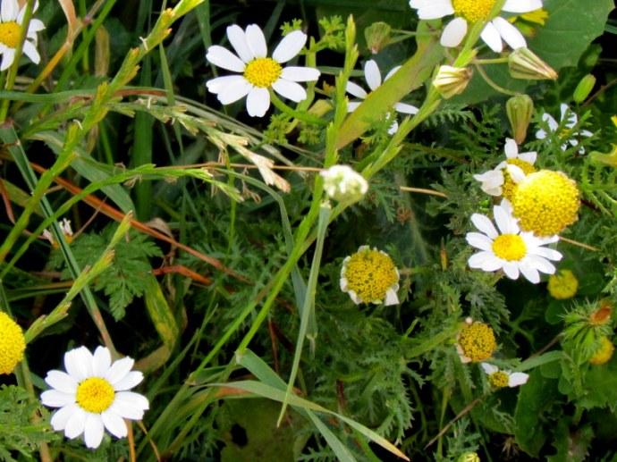 Anthemis pseudocotula_Pupavka_IMG_8675IMG_8101