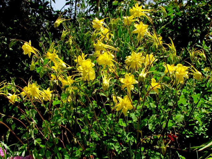 Aquilegia chrysantha  IMG_7871