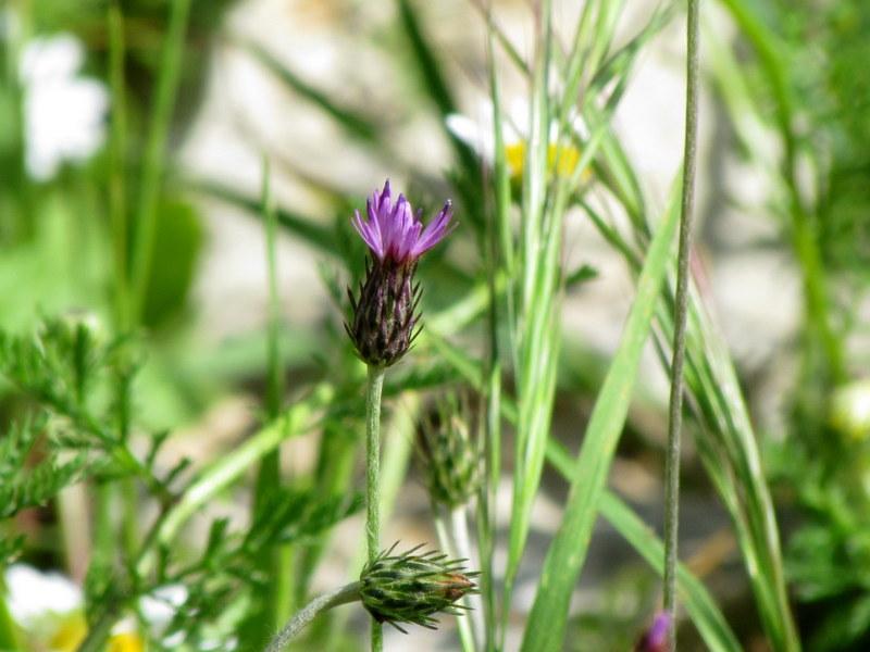 Carduus argentatus IMG_8121
