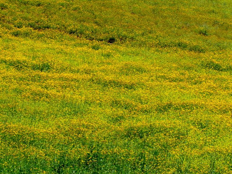 Chrysanthemum coronarium IMG_8274