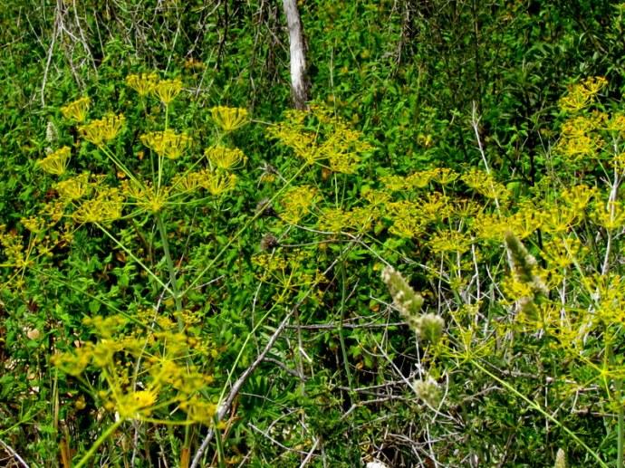 Foeniculum vulgare IMG_8270