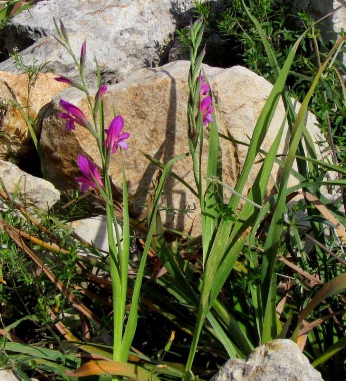 Gladiolus italicus IMG_8128