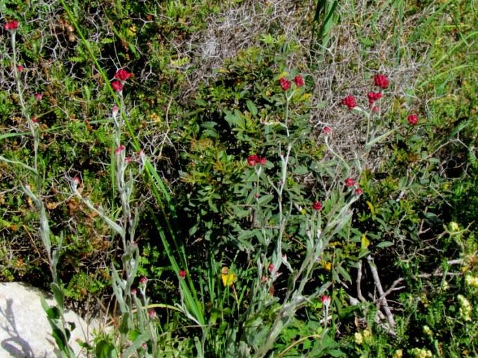 Helichrysum sanguineum_Bessmertn_IMG_8132