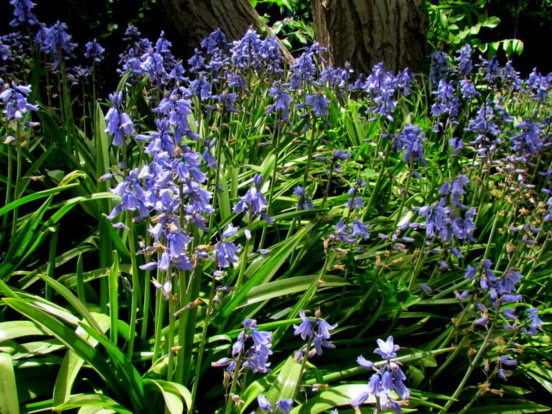 Hyacinthoides hispanica IMG_7872