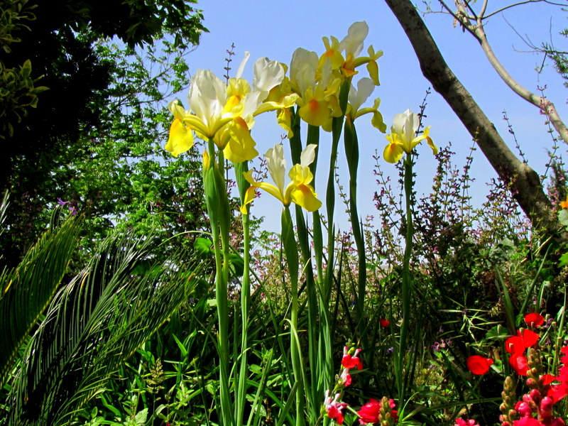 Iris germanica IMG_7860