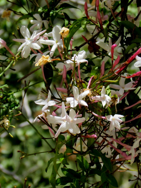 Jasmínum polyanthum IMG_8054