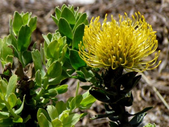Leucospermum patersonii IMG_7972