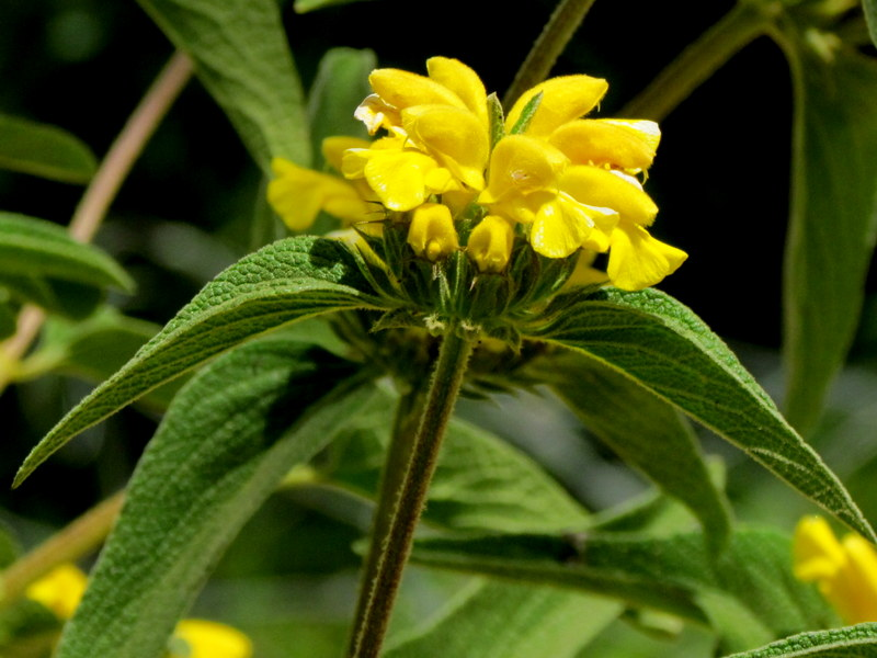 Phlomis russeliana IMG_8075-001