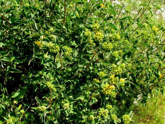 Phlomis viscosa IMG_8123