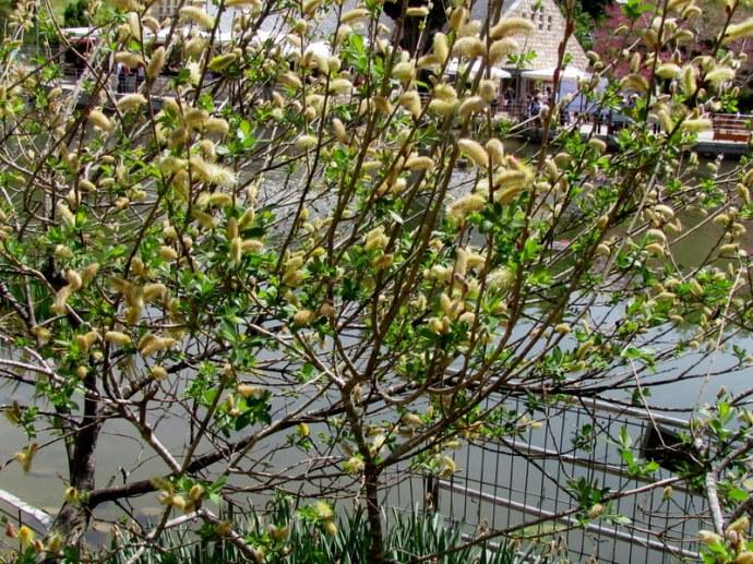 Salix alba L. IMG_7935