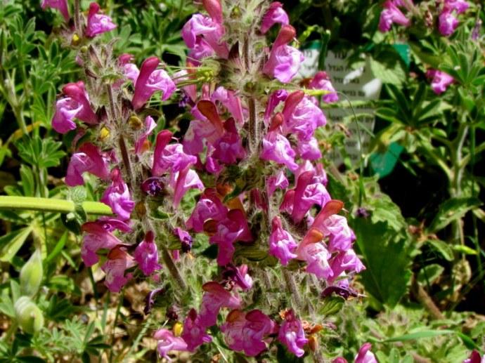 Salvia bracteata IMG_7953