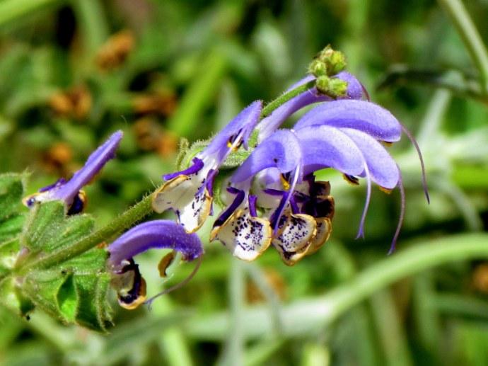 Salvia Indica IMG_7956