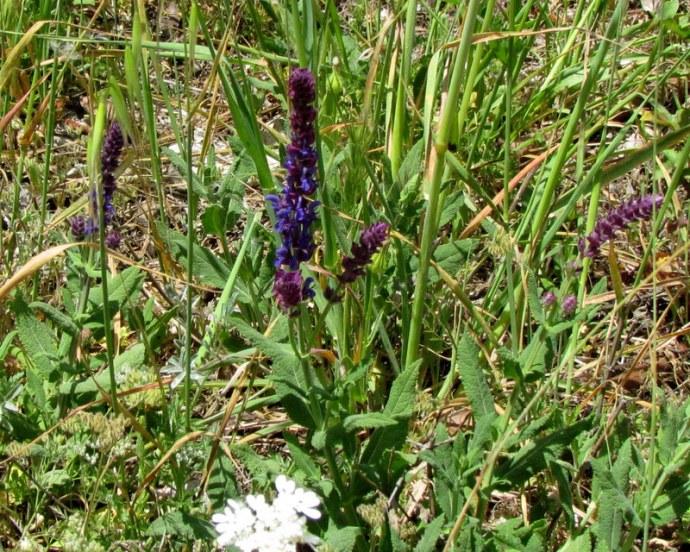 Salvia leucantha IMG_8079