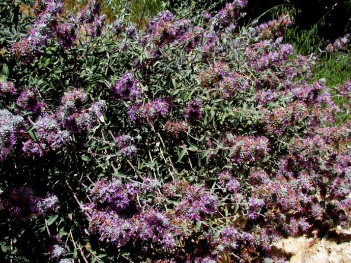 Salvia leucophylla IMG_8057