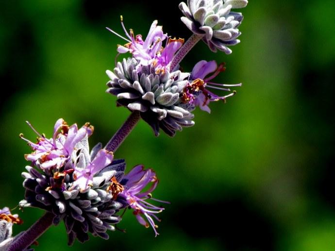 Salvia leucophylla IMG_8060