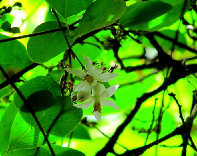 Styrax officinalis_IMG_8194-002