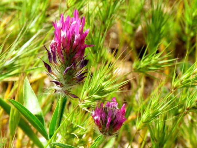 Trifolium purpureum IMG_8114