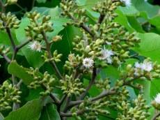 Eucalyptus torelliana IMG_9178