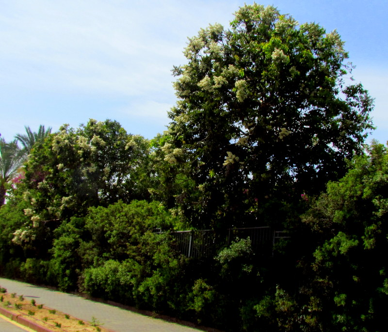 Eucalyptus torelliana IMG_9691
