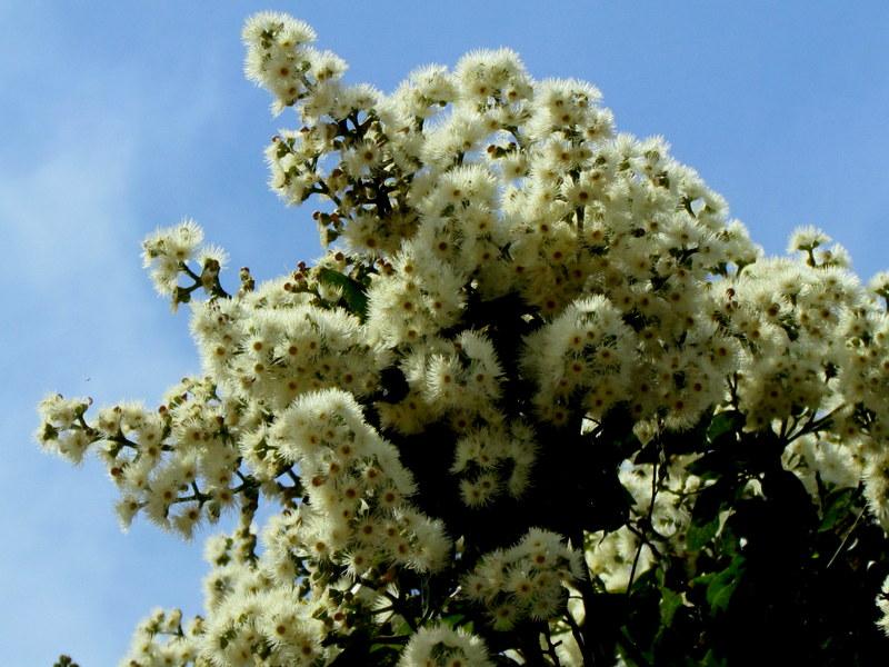 Eucalyptus torelliana IMG_9693