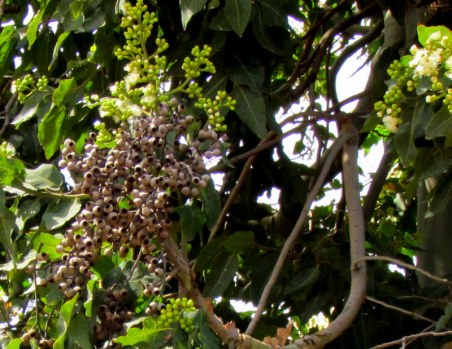 Eucalyptus torelliana IMG_9694-002