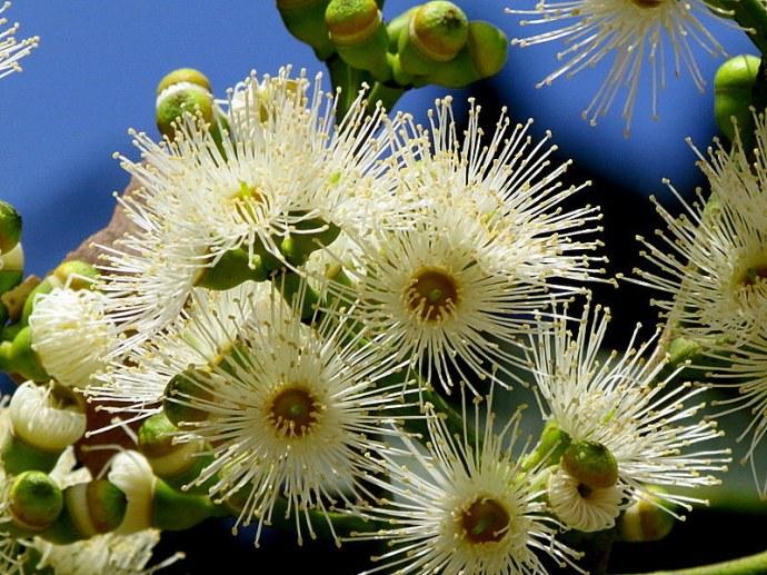 Eucalyptus torelliana IMG_9698-001
