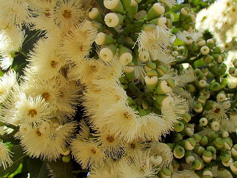 Eucalyptus torelliana IMG_9702-001