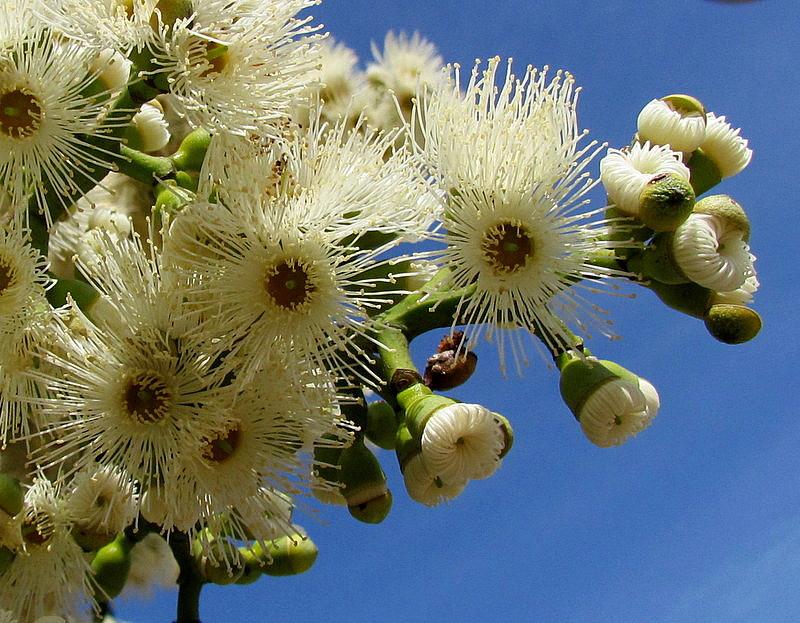 Eucalyptus torelliana IMG_9705-001