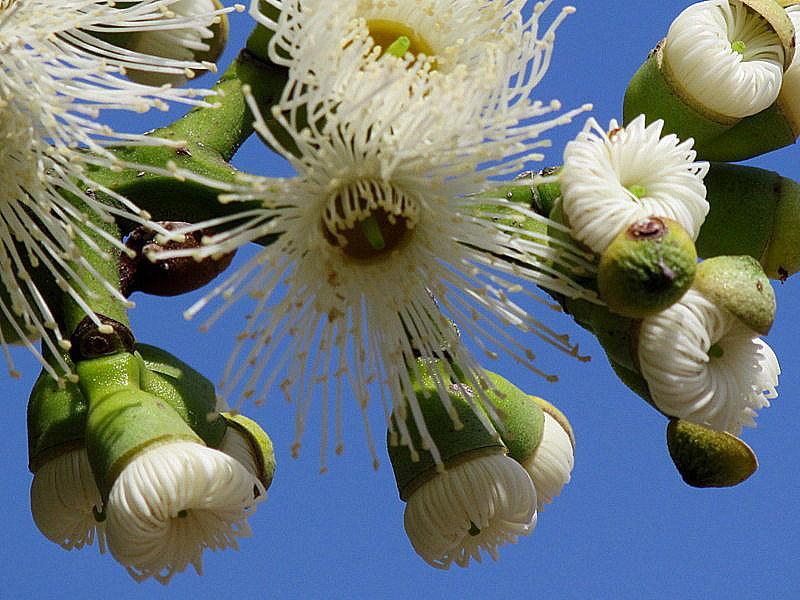 Eucalyptus torelliana IMG_9714-004