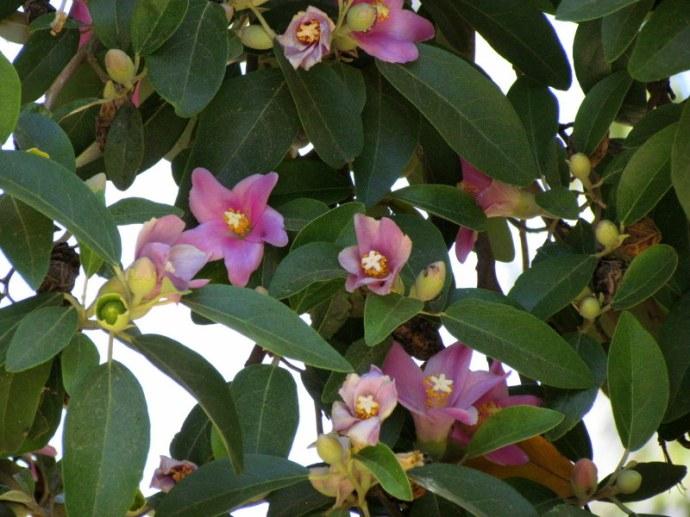 Lagunaria patersonii IMG_3147