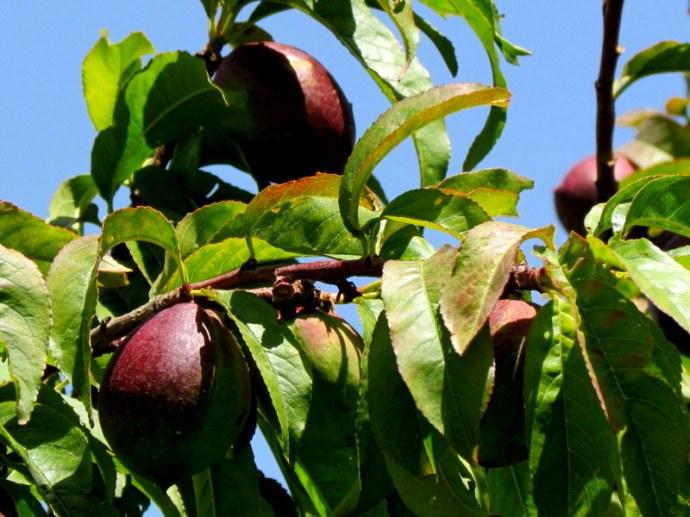Nectarin_Prunus persica IMG_0554