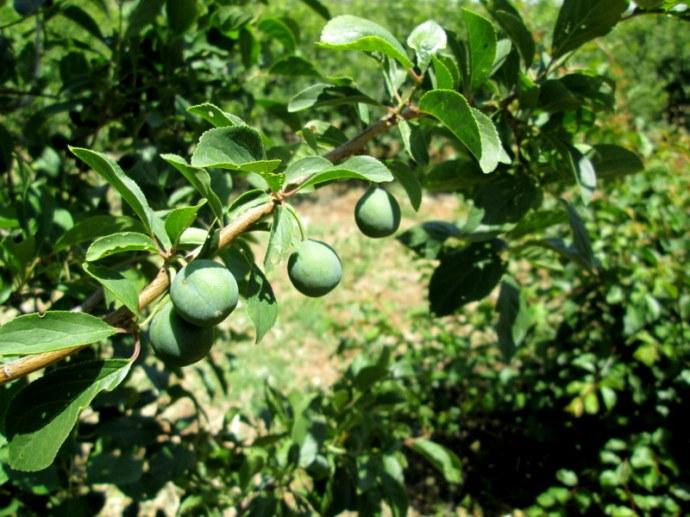 Prunus domestica var. syriaca IMG_0564