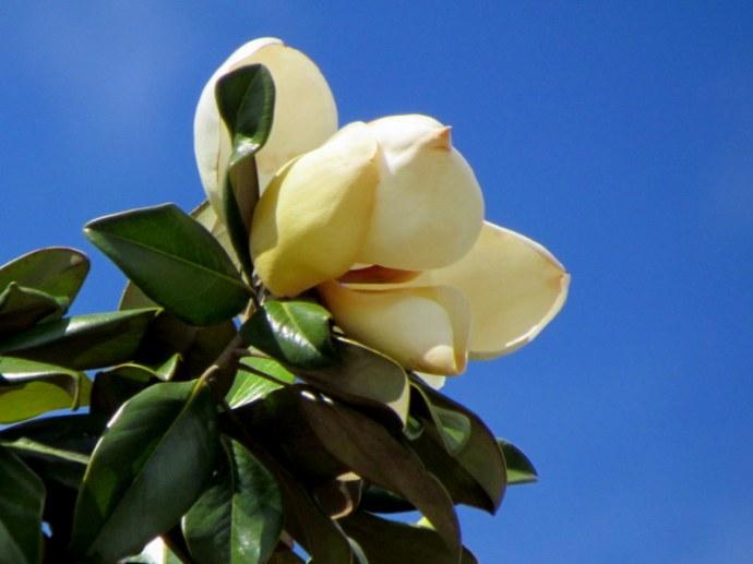 Magnolia_IMG_5445