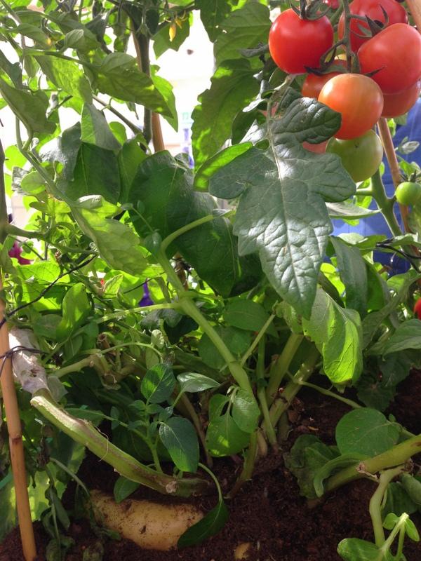 Tomat-Katofel_IMG_1144