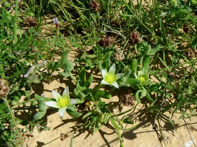 Aizoon hispanicum IMG_0050