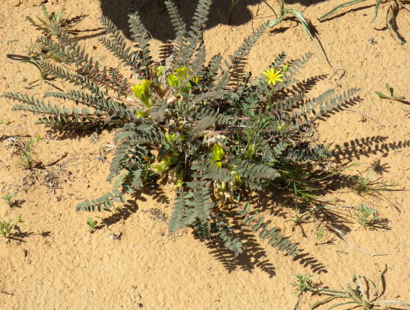 Astragalus caprinus IMG_9882