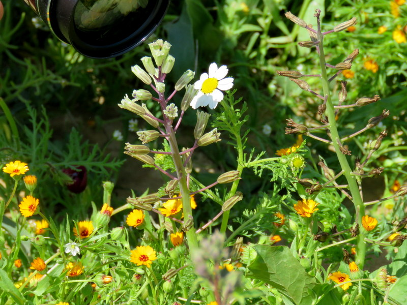 Bellevalia flexuosa IMG_0023