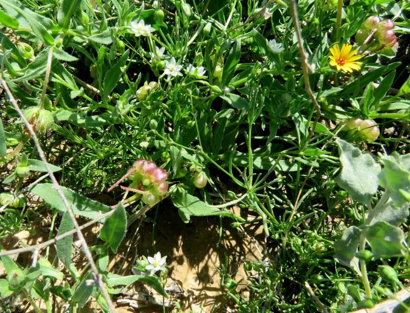 Calendula arvensis IMG_0063
