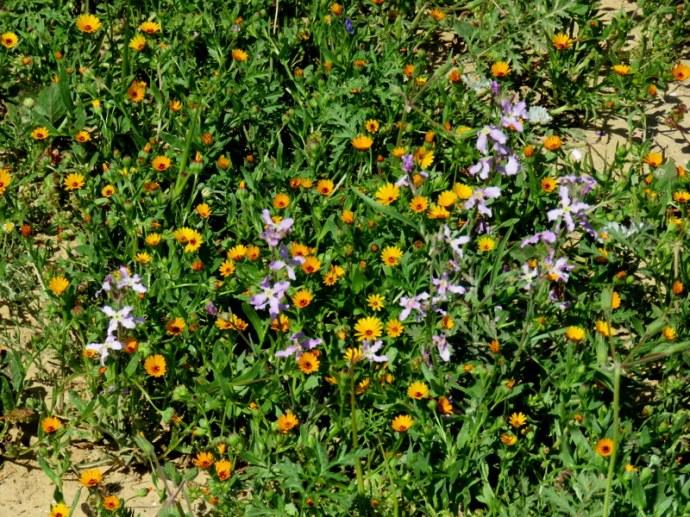 Calendula arvensis IMG_0309