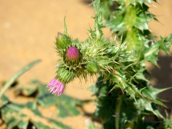 Carduus australis IMG_9849