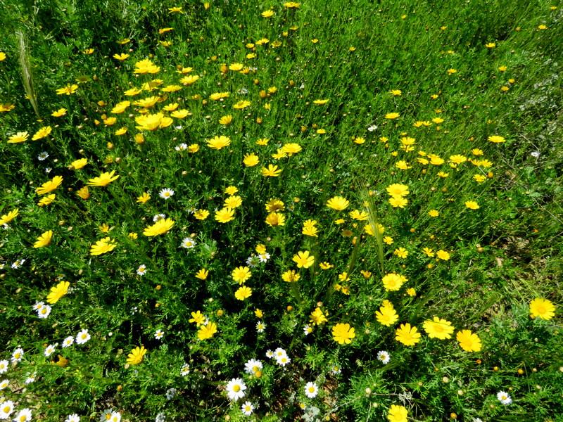 Chrysanthemum coronarium IMG_0042