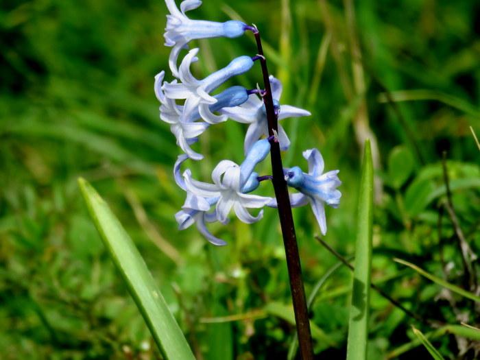 Hyacinthus orientalis_IMG_8132